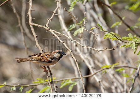 House Sparrow or Passer Domesticus with food (flies) in a farm in Bahrain