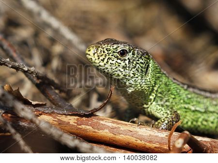 Male sand lizard Lacerta agilis agilis in courtship colour in Finland.