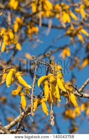 yellow kowhai flowers with sky in background