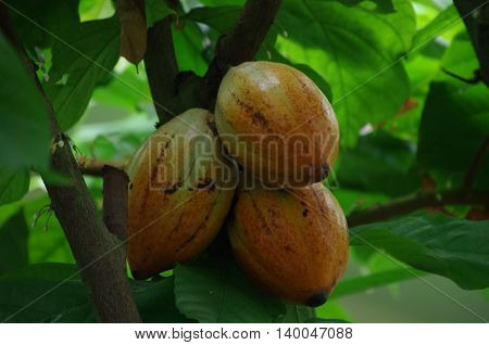 Cocoa, Theobroma cacao  fruit growing on tree. Organic cacao fruit.