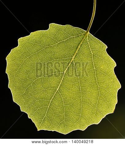 Leaf of the common aspen (Populus tremula) against the light, black background.