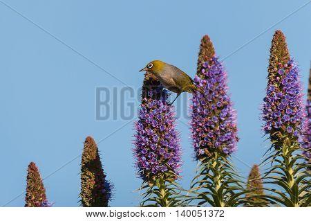closeup of silvereye pollinating pride of Madeira flowers