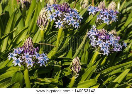 closeup of blue scilla peruviana flowers and buds