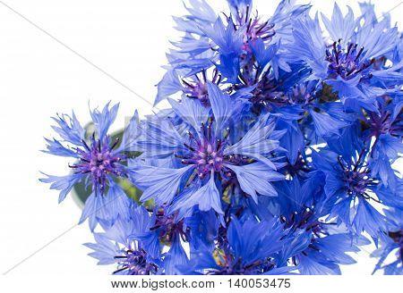 bluett knapweed flower on a white background