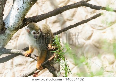 Cute Squirrel monkey (Saimiri) in zoo, animal park