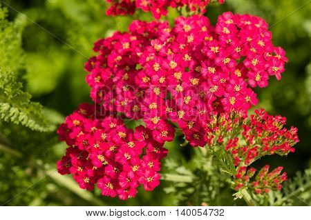 close up of pink common yarrow flowers