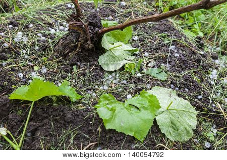 Ice balls in vineyard after heavy hailstorm damaged grape leaves on ground