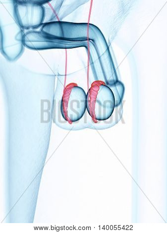 medically accurate illustration of the epididymis