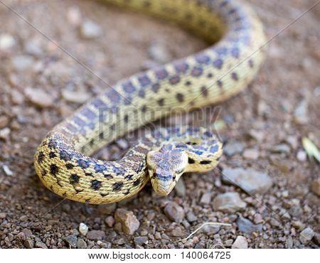Pacific Gopher Snake - Pituophis catenifer catenifer, adult in defensive posture, Santa Cruz Mountains, California