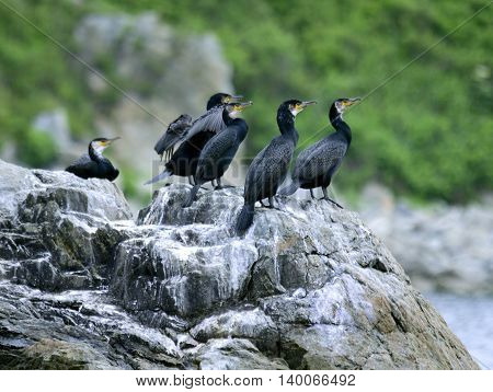 Colony of big black cormorants sitting on rock Far East Marine East Bay