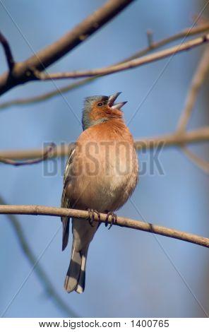 Warble Bird