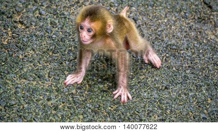 Baby Japanese Macaque learning how to walk.