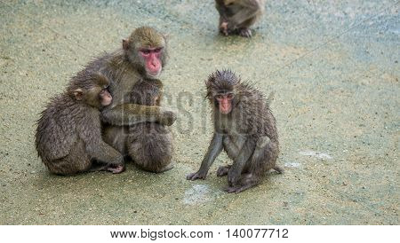 A family of Japanese Macaques huddling together.