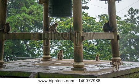 Japanese Macaque monkeys sitting around a bell in Japan.