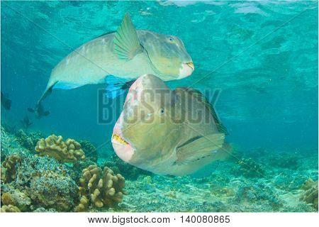 Bumphead Parrotfish: fish and coral reef