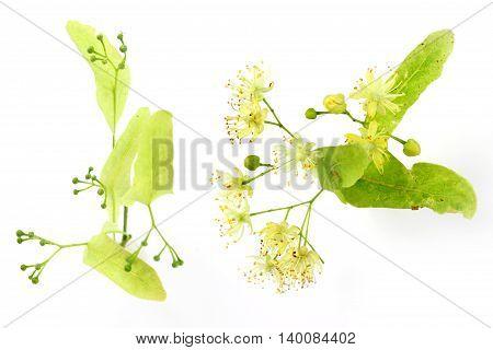 Tilia cordata (linden buds flower) on white background.