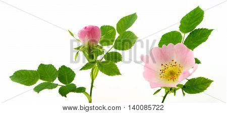 Rosa canina - wild rose blossom with bud on white background.