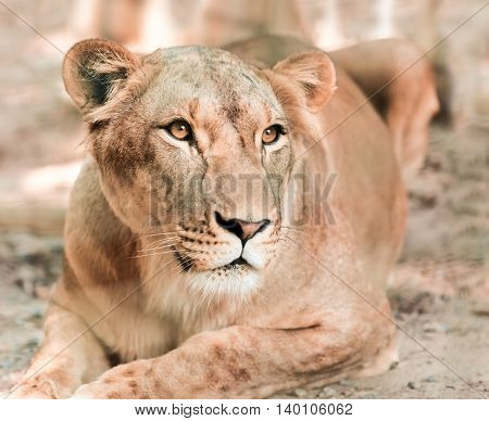 portrait the animal African lioness lying close-up