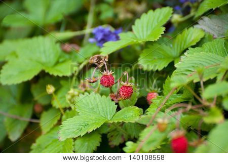Two wild red strawberries ready to eat