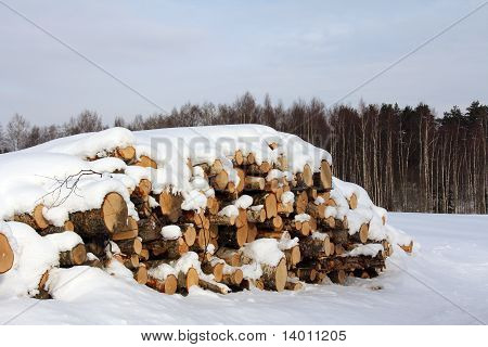 Birch Logs And Birch Trees In Winter