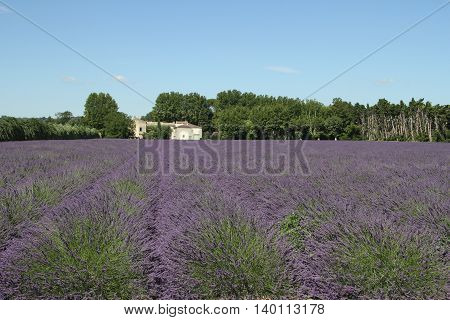 Old farm with lavender field in Provence, France