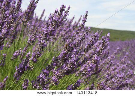 Blooming purple lavender in France, Europe in summer