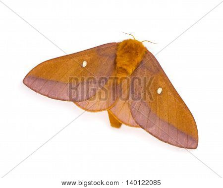 Female Pink-striped Oakworm Moth (Anisota virginiensis) isolated on a white background
