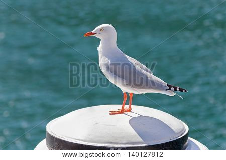 Silver Gull seabird standing on white wooden pole in the afternoon with blurred wave and sea background at Sydney Harbour in New South Wales, Australia