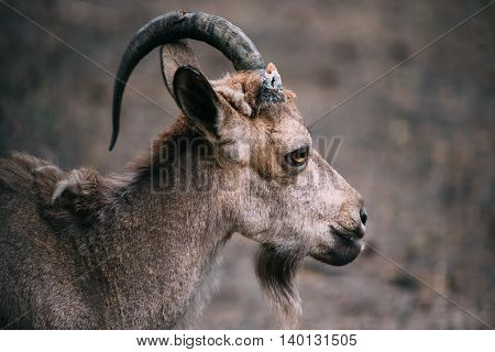 greatest portrait of a ram with one horn