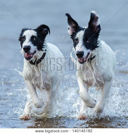 Close up two puppies of watchdog running on water. Square composition. Front view.