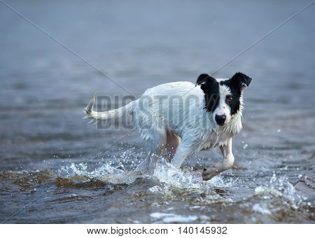 Puppy of mongrel is afraid of waves. Dog bathes for the first time.