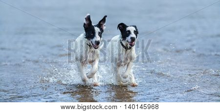 Two puppies of watchdog running on water. Horizontal composition. Front view.
