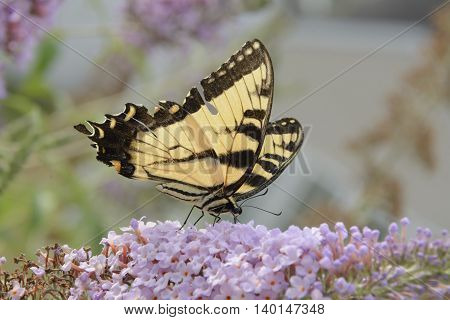 An Eastern Tiger Swallowtail (Papilio glaucus) feeding on a Butterfly Bush in Carroll County Maryland.