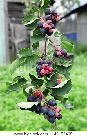 Saskatoon berries growing on the fruit trees. Gardening