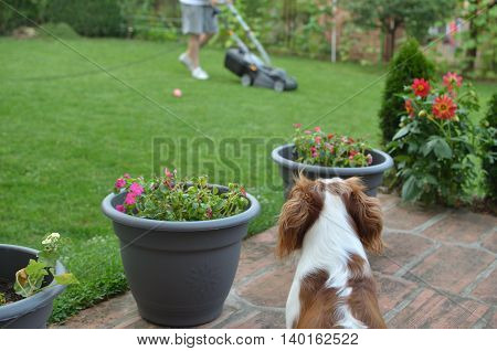 Beautiful dog Blenheim Cavalier King Charles Spaniel looking at a man mowing a lawn its best friend