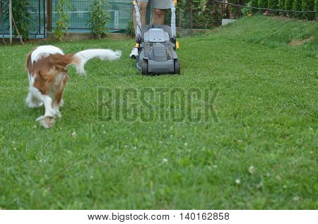 Man mowing a lawn and beautiful dog Cavalier King Charles Spaniel Blenheim running in the garden
