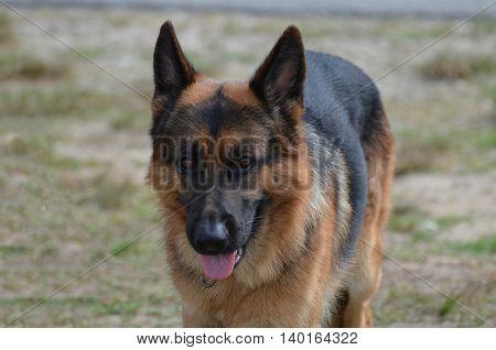 Beautiful German shepherd dog in a yard. poster
