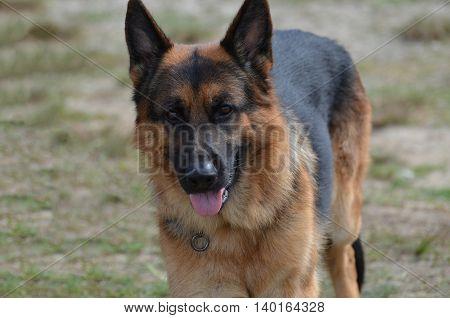Beautiful loveable German shepherd dog in a yard.