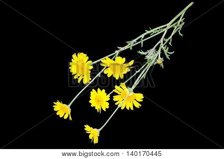 Cota tinctoria synonym Anthemis tinctoria (golden marguerite yellow chamomile oxeye chamomile) isolated on a black background. Used in herbal medicine and for the production of yellow dyes