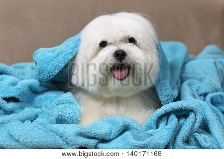 Cute maltese dog wrapped on a blue blanket