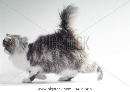 Walking fluffy cat poster