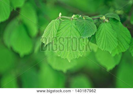 a detail of a hazelnut tree twig