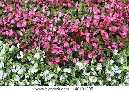 Background of pink and white flowers tuberous begonias on the flowerbed in the garden