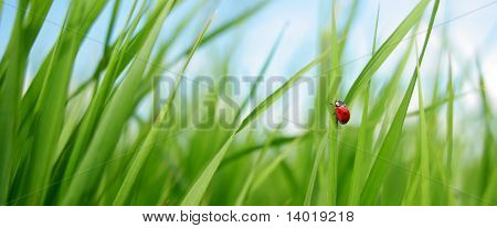 Alone red ladybird in grass poster