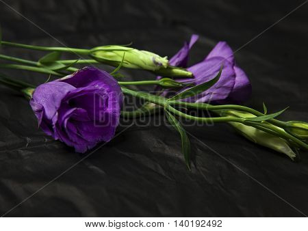 Studio shot of an eustoma flower