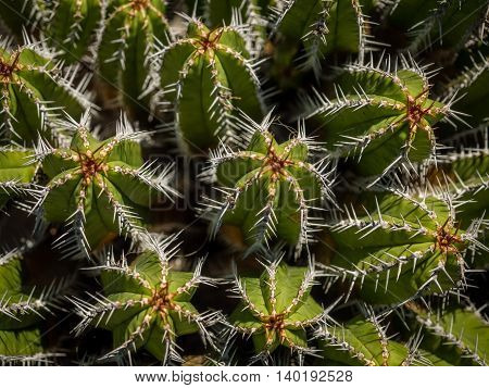 Close up of the cactuses in the Cactus Garden designed by Cesar Manrique, Lanzarote, Canary Islands, Spain