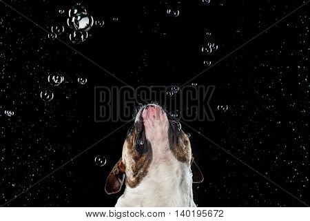 dog breed American Bulldog Motion in the water aqueous shooting