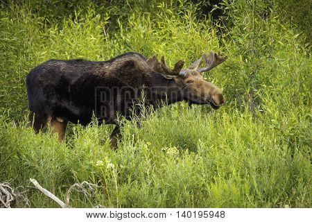 Young Bull Moose Feeding in Jackson Hole WY