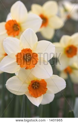 White Orange Daffodils
