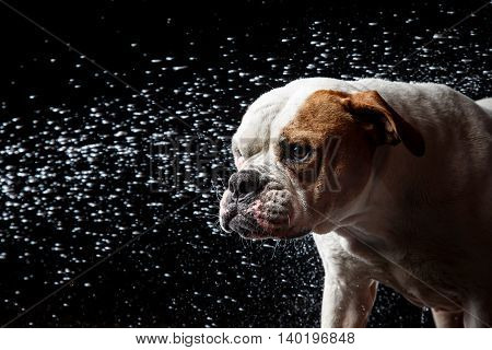 American Bulldog, Dog Motion In The Water, Aqueous Shooting
